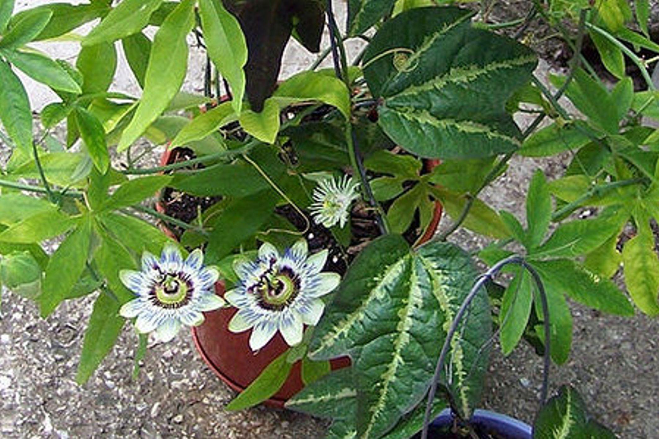 Почему не цветет пассифлора в домашних условиях 1