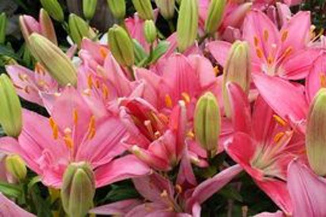 Лучшие сорта садовых лилий