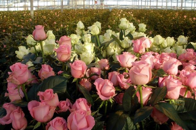 Лучшие сорта роз для теплицы