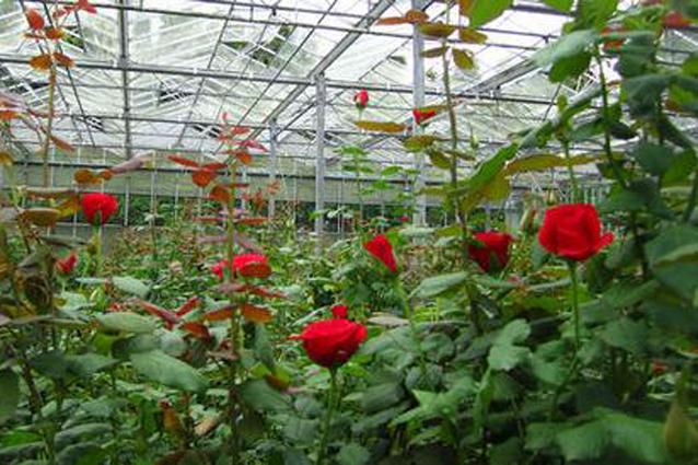 Посадка тепличных роз