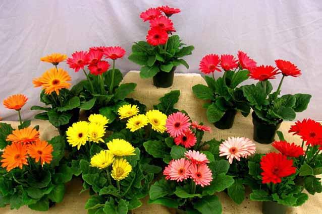 Комнатная гербера: выращивание и уход