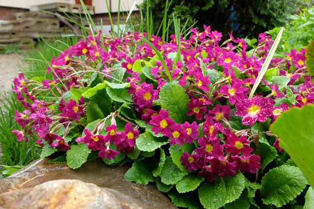 Садовый первоцвет — примула.
